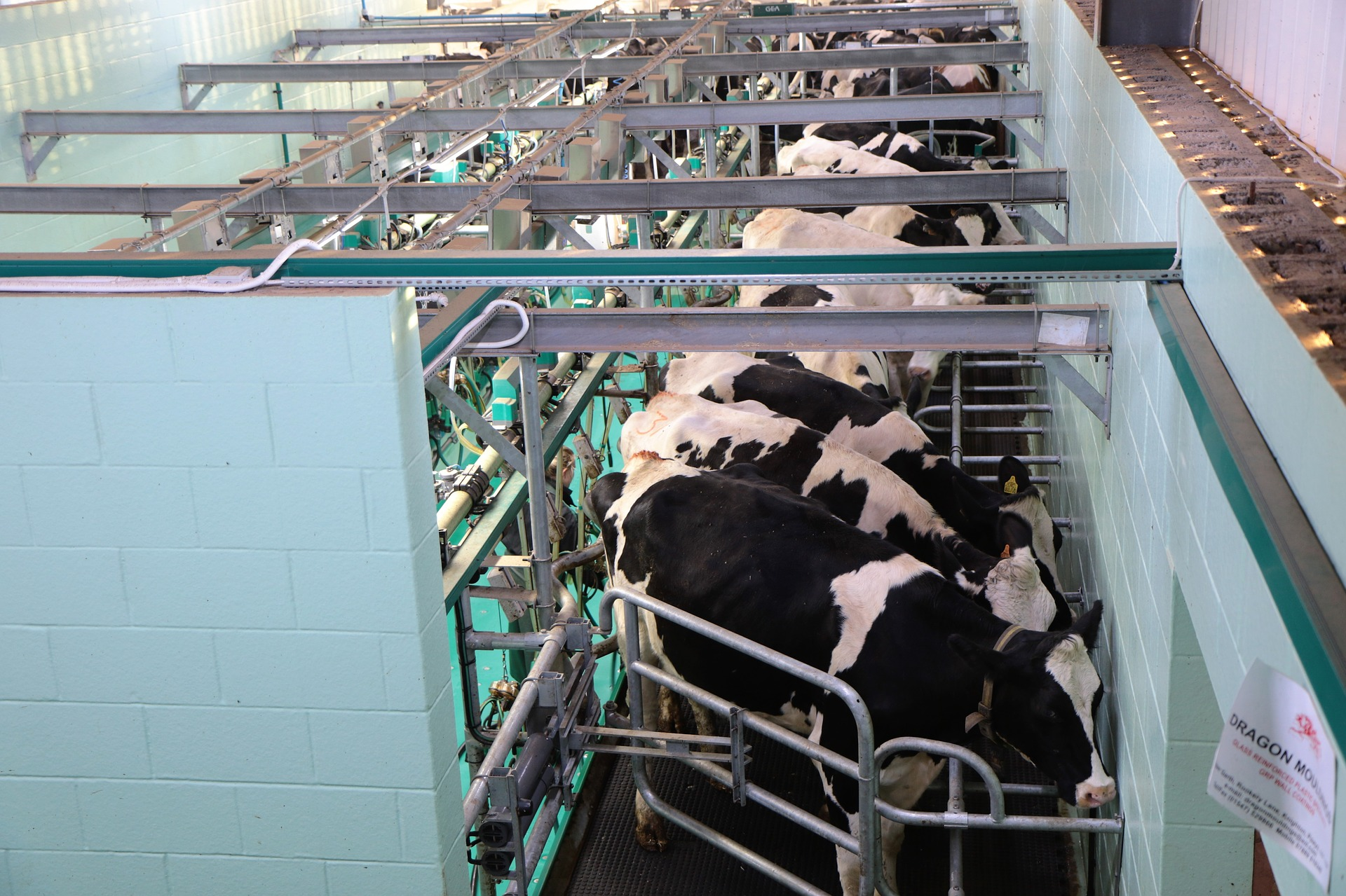 Cows hooked up to machines in an industrial milking parlor on a factory farm